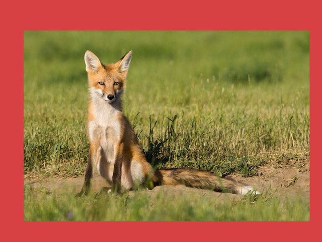 Red Fox Puzzle!!! by Joanne Hwang