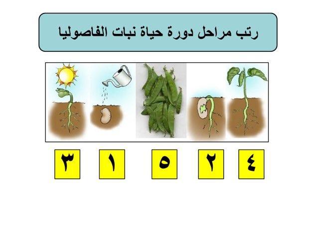 دورة حياة نبات الفاصوليا by Baddow A.M.N
