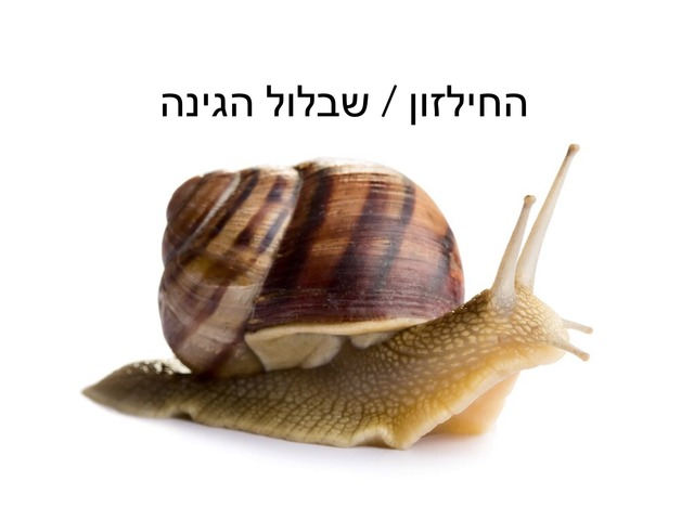 החילזון by ירדן אהרון