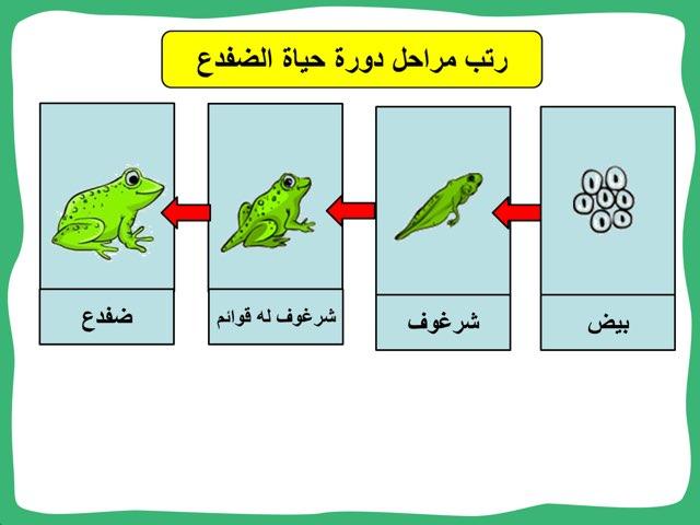 دورة حياة الضفدع by Baddow A.M.N