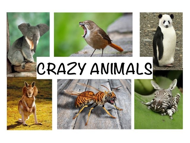 CRAZY ANIMALS - Y2 by Tiger Time