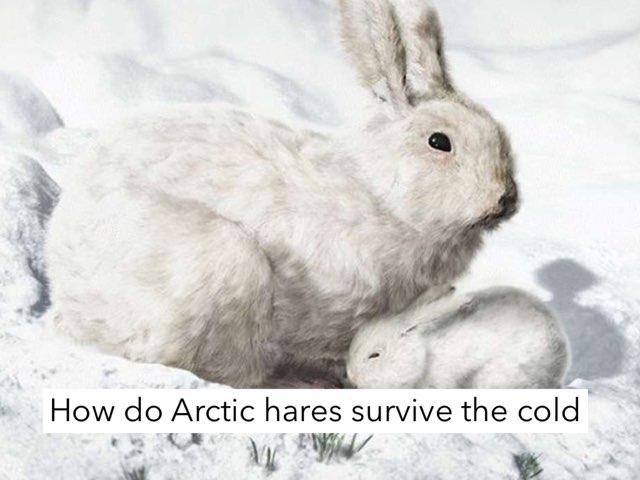 Arctic Hares by Jane Miller _ Staff - FuquayVarinaE