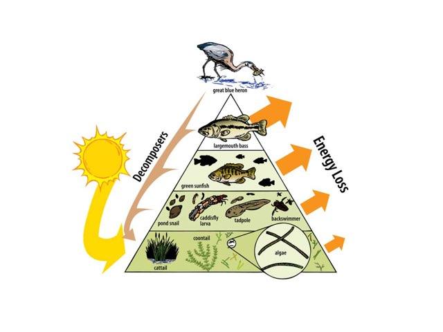 Energy Pyramid In An Ecosystem by Carol Dundorf