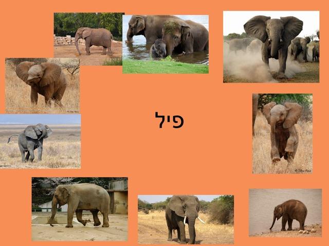 פיל יסכה by kiach school