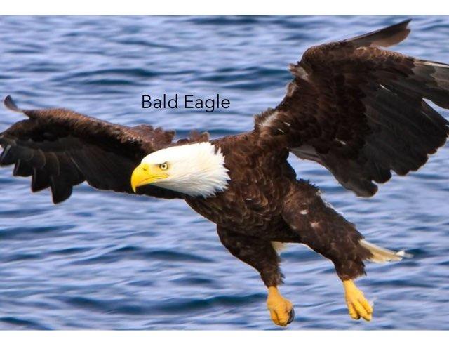 Bald eagle by Hulstrom 1st Grade