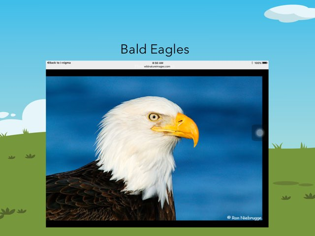 Bald Eagles Aman by Hulstrom 1st Grade