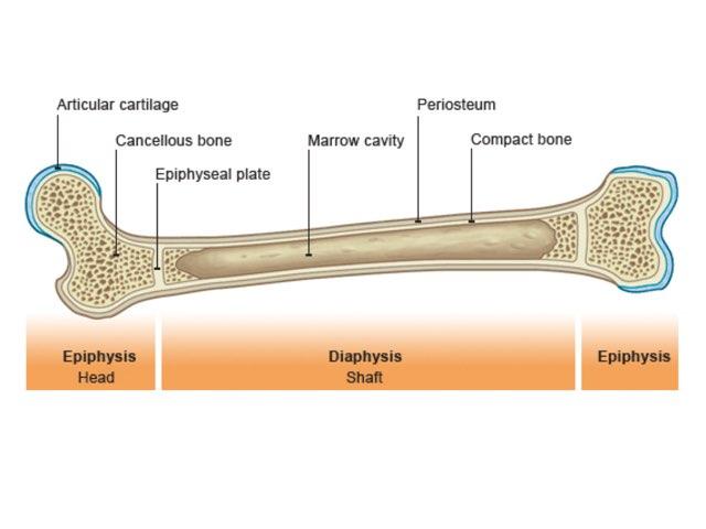 Bone Structure by Sarah Schlussel