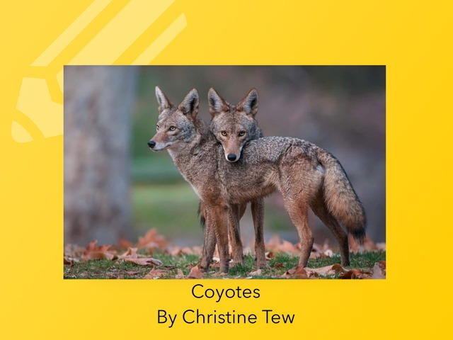 Coyotes By Mrs. Tew by Christine Snow
