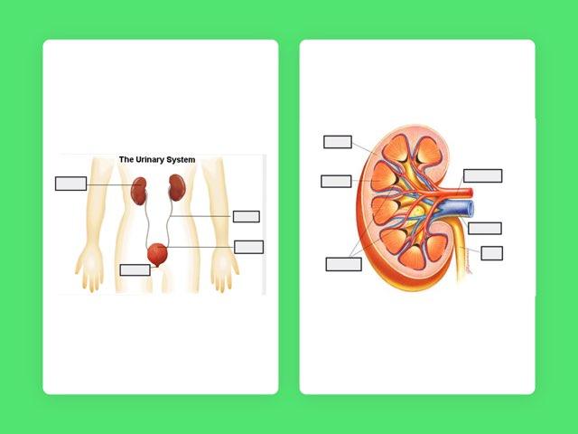 Excretory System. by Deborah Harkness
