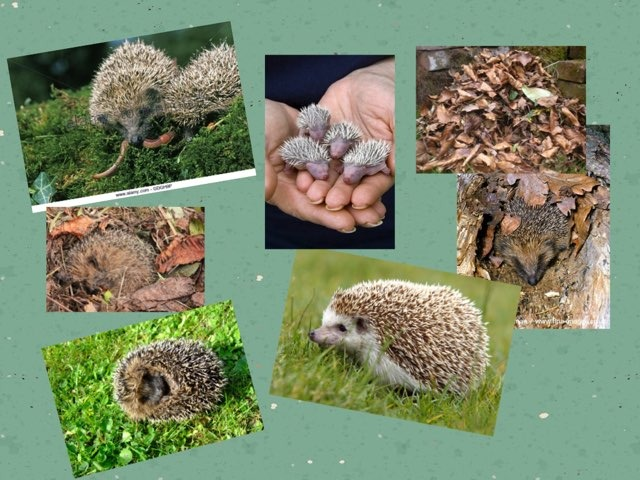 Hedgehogs by Jane carter