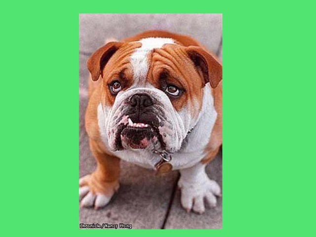 Bulldog by Jeannine quirk