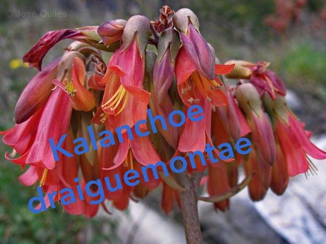 Explorando las kalanchoes by Santiago Rubio Arias