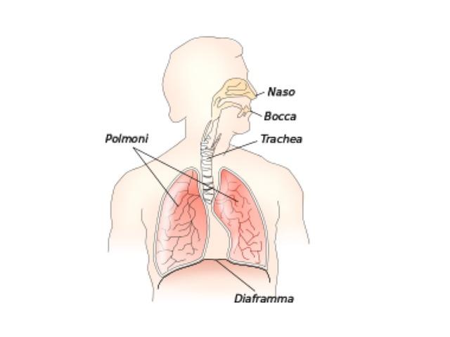 L'apparato respiratorio by Michela Martelli