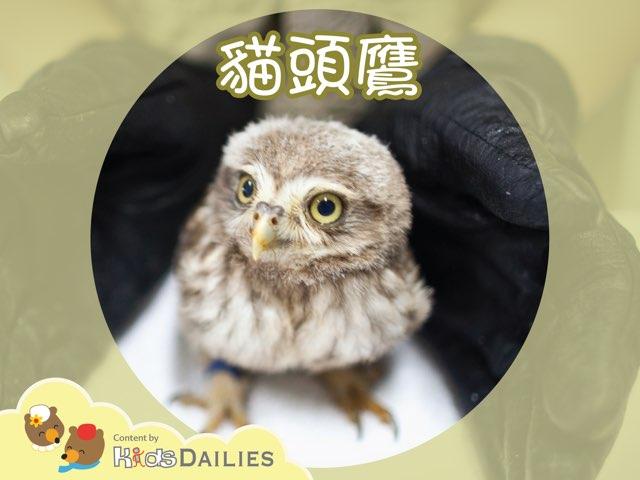 認識貓頭鷹 by Kids Dailies