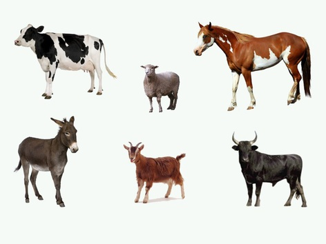 Large Farm Animal Identification by Sarah Dominek