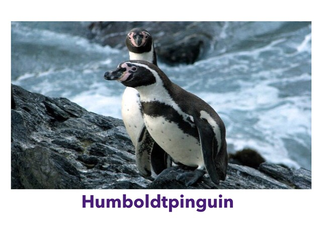 Humboldtpinguin by Claudia André