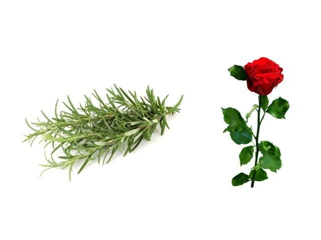 Game 4רוזמרין כצמח מרפא by אנה אברמנקו