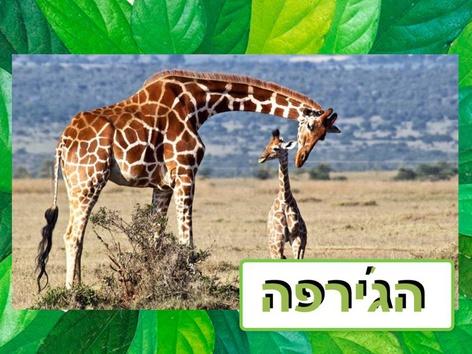 חיות הבר - הג׳רפה by Liat Bitton-paz