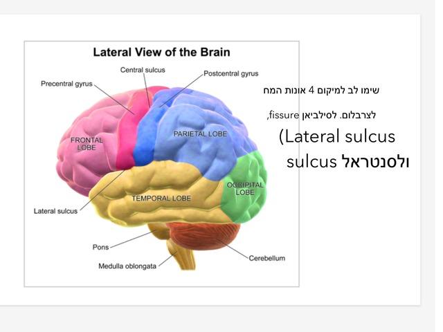 אנטומיה של המוח by יערה רענן