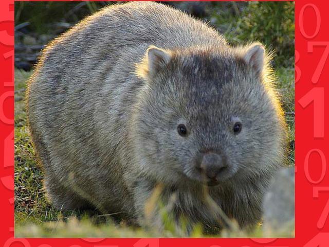 Wombat by nancy hens