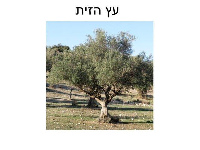 עץ הזית by רון טמיר