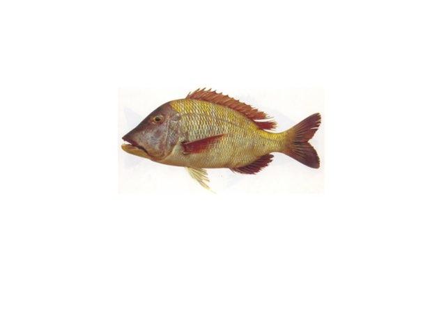 اجزاء السمكة by Lolo 4q8