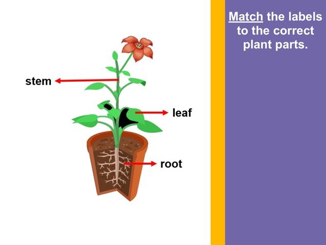 Plant Parts and Their Functions by Celia Lim