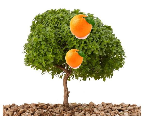תפוזים by pink class