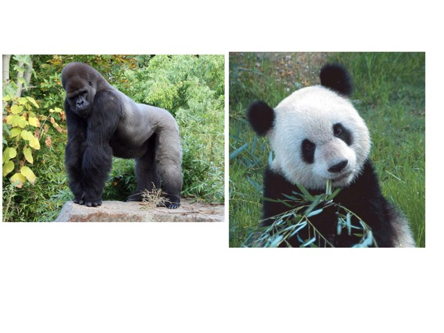 African Gorillas by Lisa Taylor