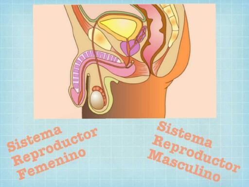 Sistema Reproductor Masculino by Marcia Quintana