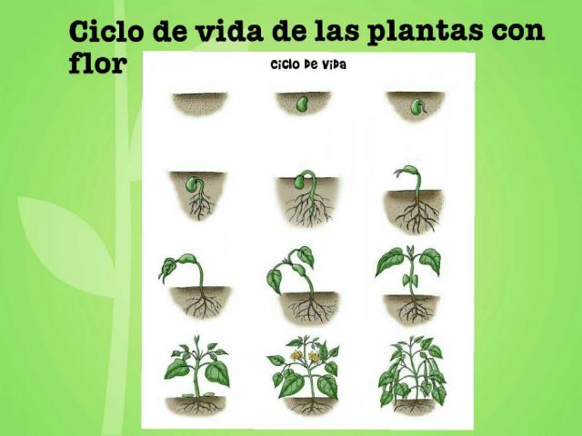 Ciclo de las plantas con flor by Marcia Quintana