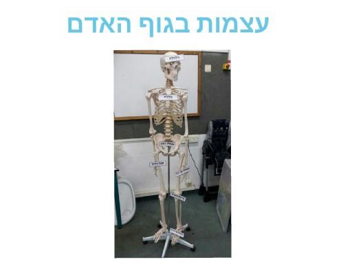 שלד גוף האדם by אורטל בן לולו