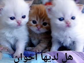 ماذ تاكل القطط  by ابراهيم البايض