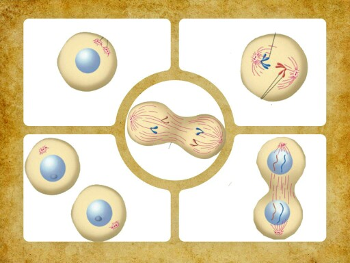 مراحل انقسام الخلية  by عالمة في ملاهي العلوم