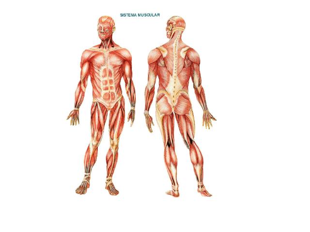 Músculos by raquel Lores Couto