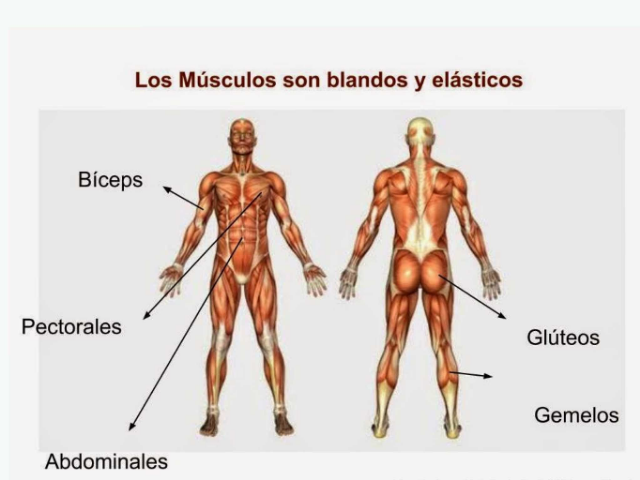 Músculos by jose angel moran campos