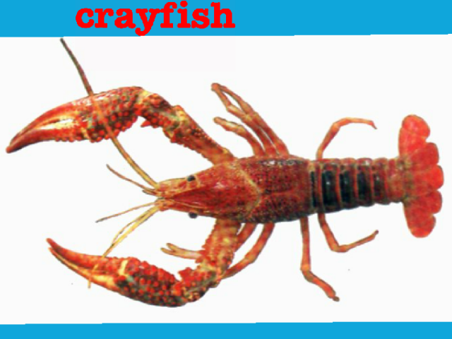 This is what a crayfish looks like. by Nevaeh Martin