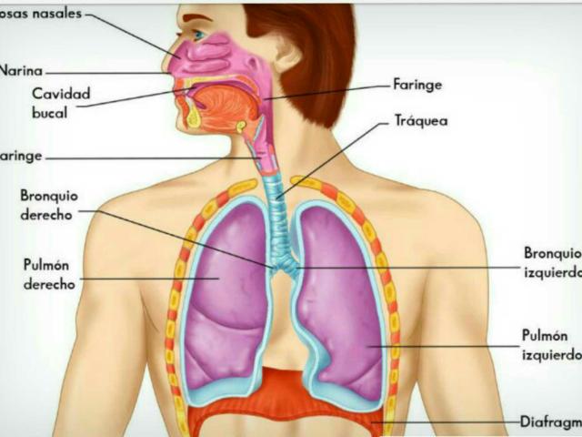 Partes del aparato respiratorio by Antonio Gomez Alcaraz