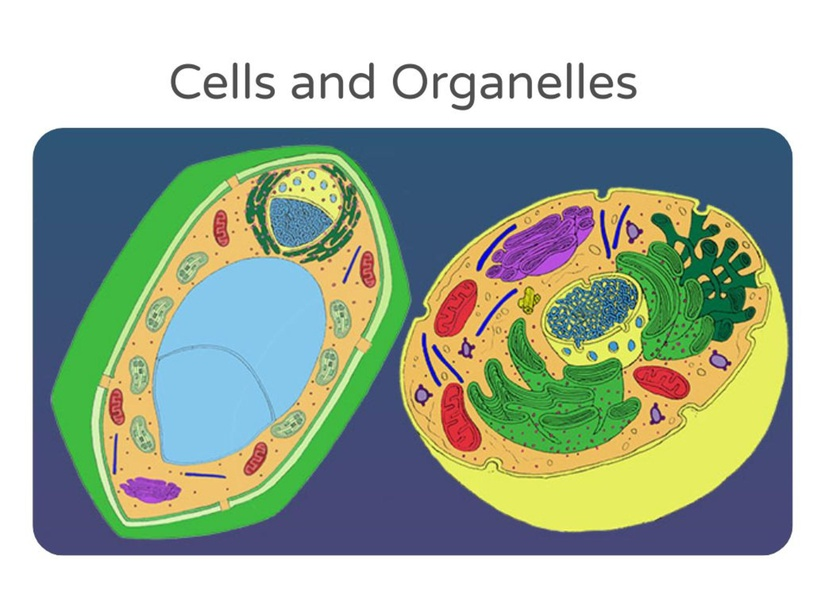 Animal & Plant Cells by Christy Harmon