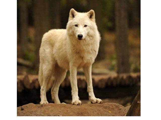Artic Foxes  by Keegan scelia