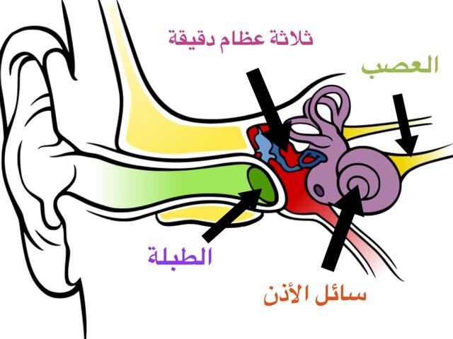 أجزاء الأذن by Fatma Al-Ameer