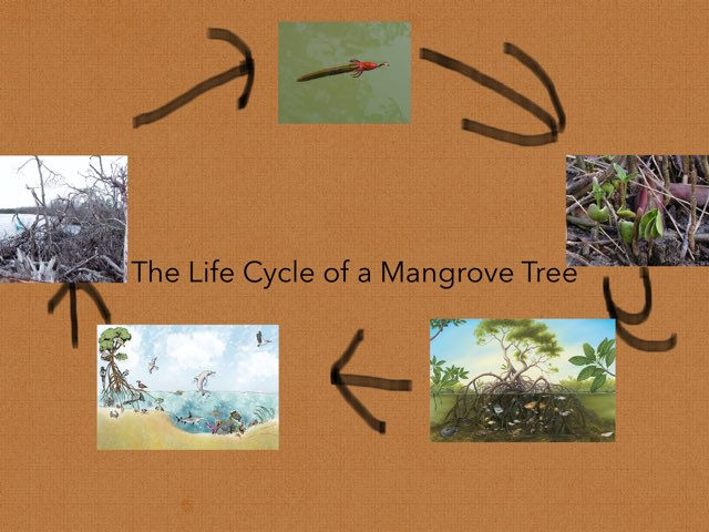 Life Cycle Of A Mangrove Tree by Diana Coyne