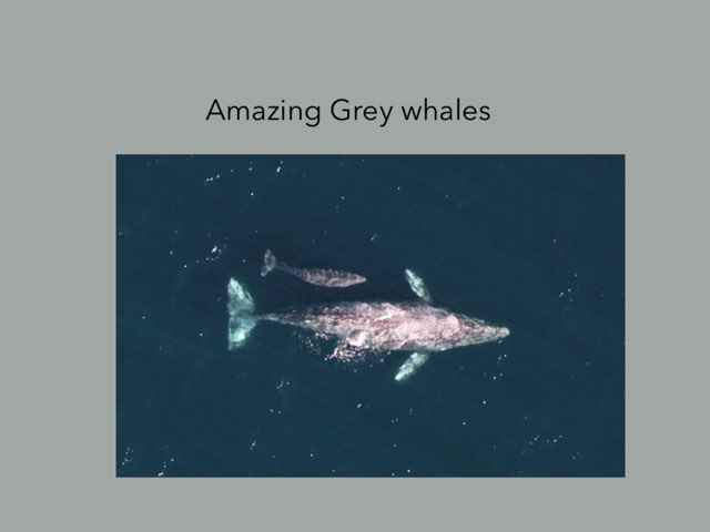 Grey Whales  by Hulstrom 1st Grade