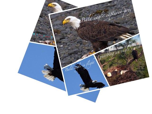 Bald Eagle by Joanne Hwang