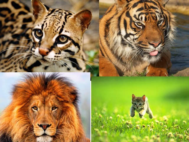 Big Cats by Dss Student