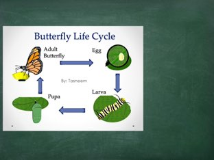 Butterfly Life Cycle by Nicholas Combs