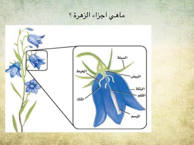 اجزاء الزهرة  by سلمانة سلمانة
