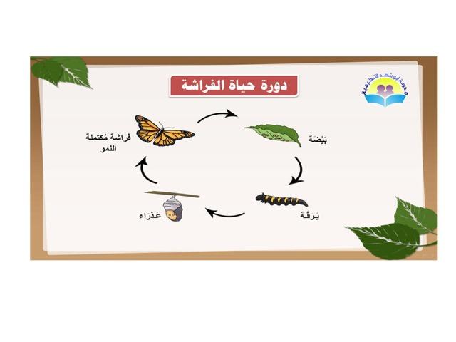 دورة حياة الفراشة by Huda Al