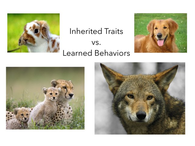 Inherited Traits & Learned Behaviors by Rachel Priel