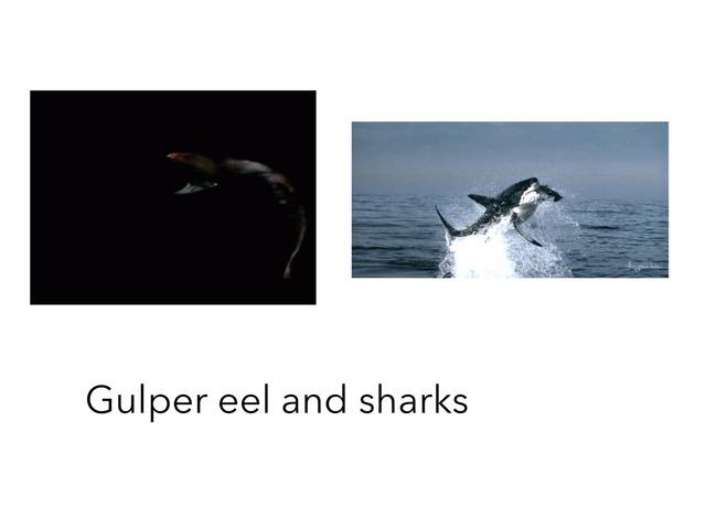Gulper eel and sharks by Marley Battrick